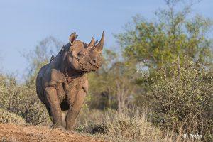 Ntombi black rhino